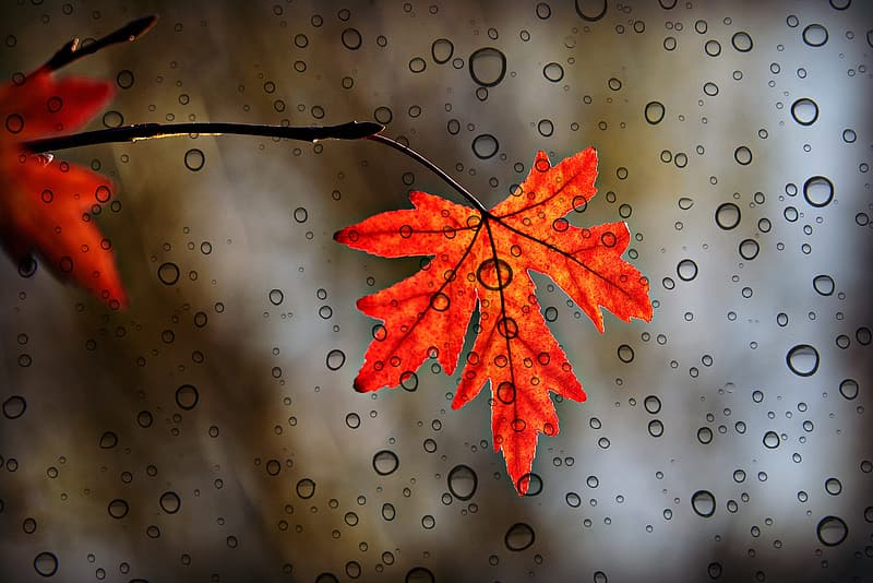 Red maple leaf with water droplets