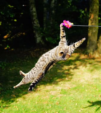Silver tabby cat playing pink feather toy