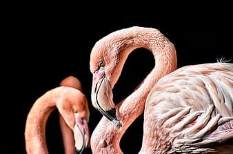 Pink flamingos in black background