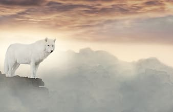 White wolf standing at the top of mountain