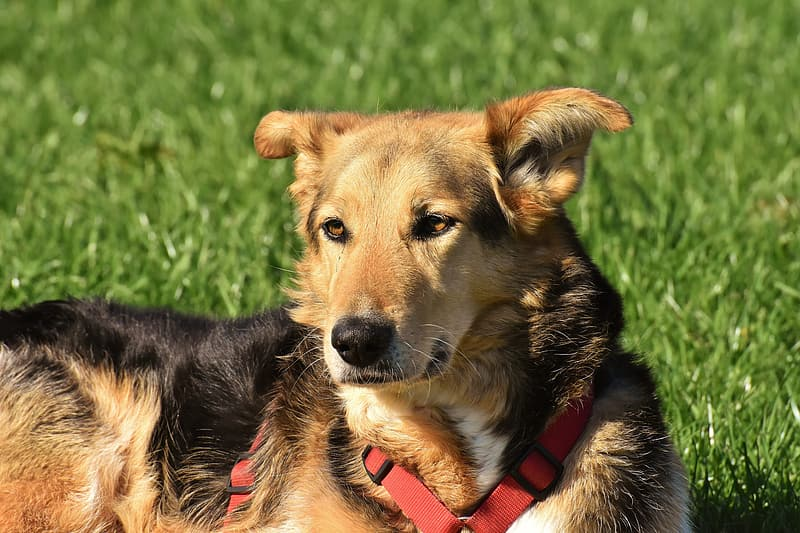 Short-coated black and tan dog lying on the green grass field