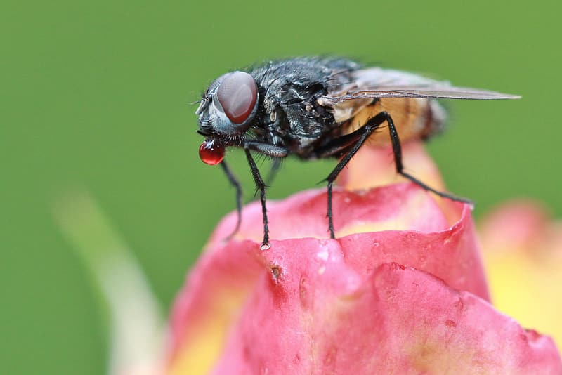Hoverfly perched on pink flower petal selective focus photography