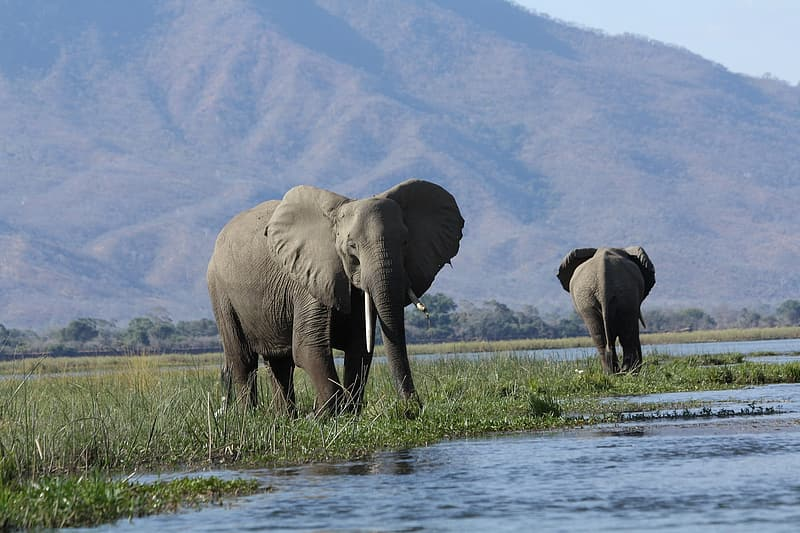 Two gray elephans