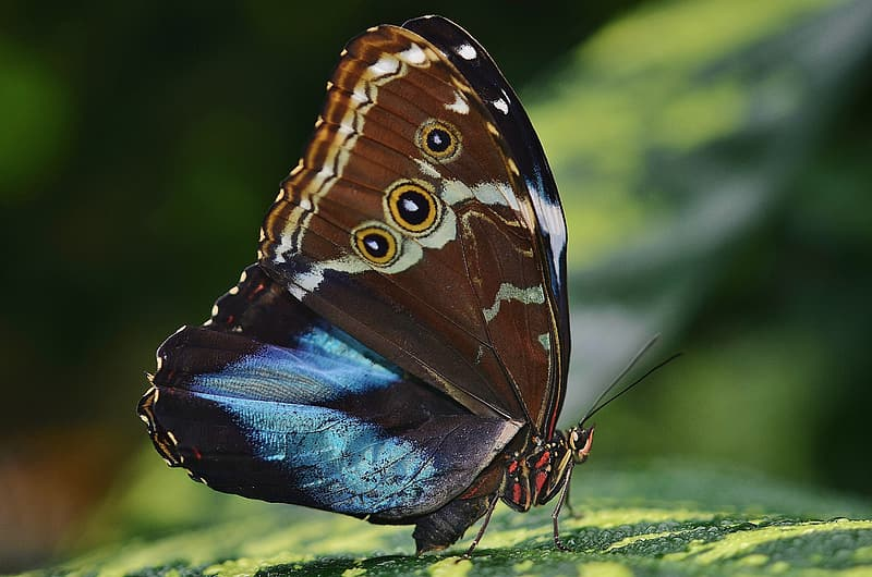 Morpho butterfly perched on green leaf
