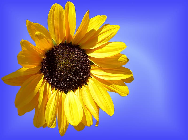 Close up photography of yellow sunflower