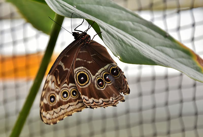 Morpho butterfly perched under green leaf selective closeup photography