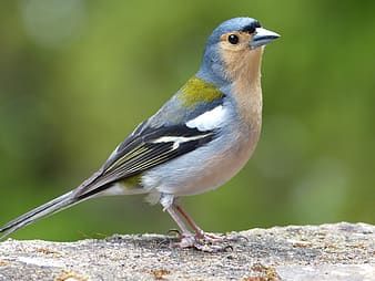 Photo of grey and black finch