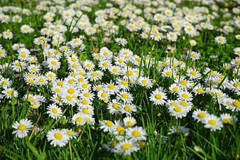 Yellow-and-white flowers