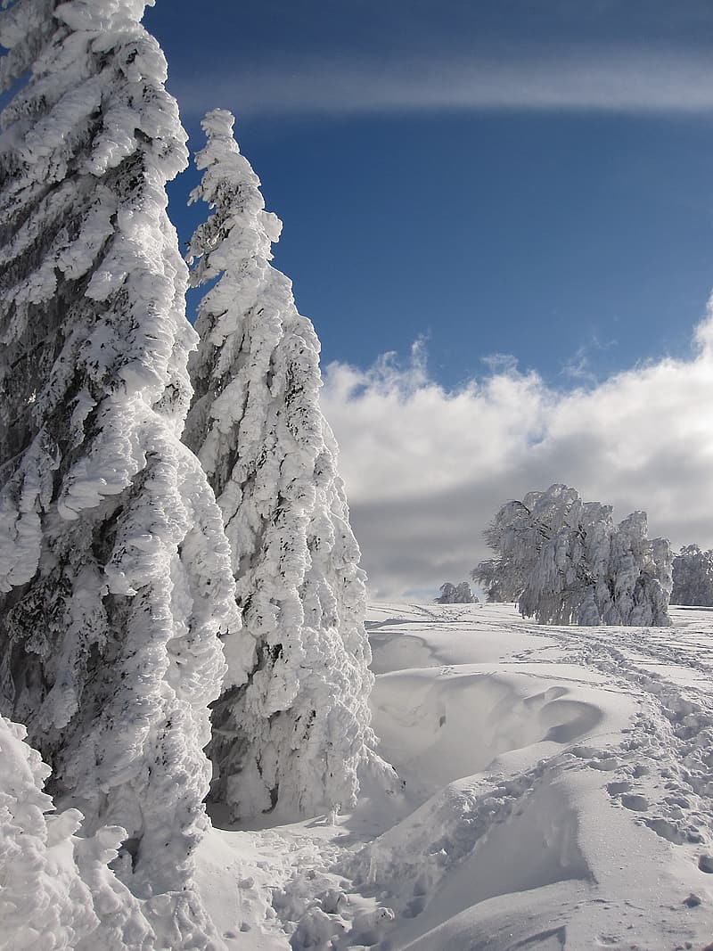 Photo of pine trees covered with snow