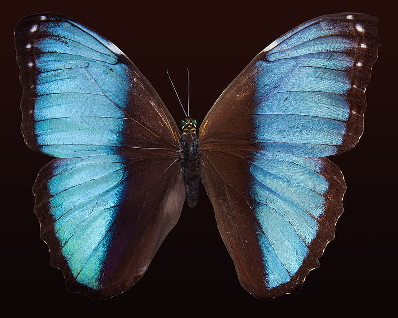 Macro photography of blue morpho butterfly