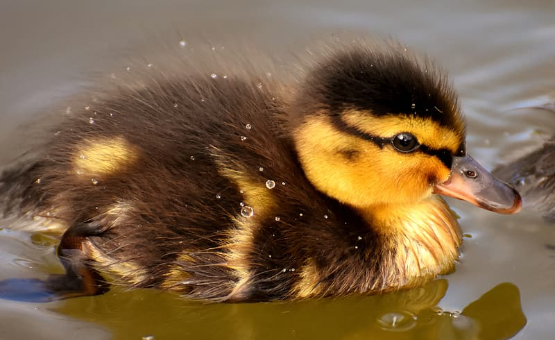 Brown and black duckling on water