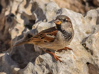 Gray and brown sparrow bird perching on rock