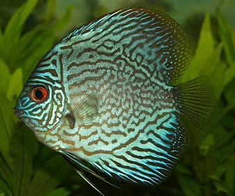 Blue and black discus fish