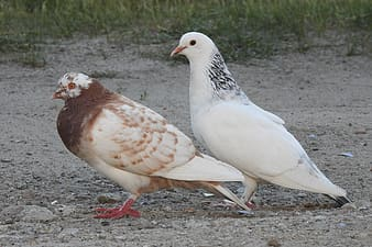 White and brown doves