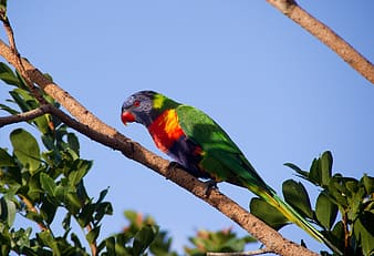 Rainbow lorikeet perched on branch