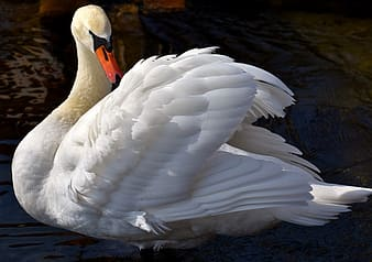 White swan during daytime photography