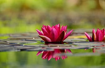 Focus photography of pink water lily