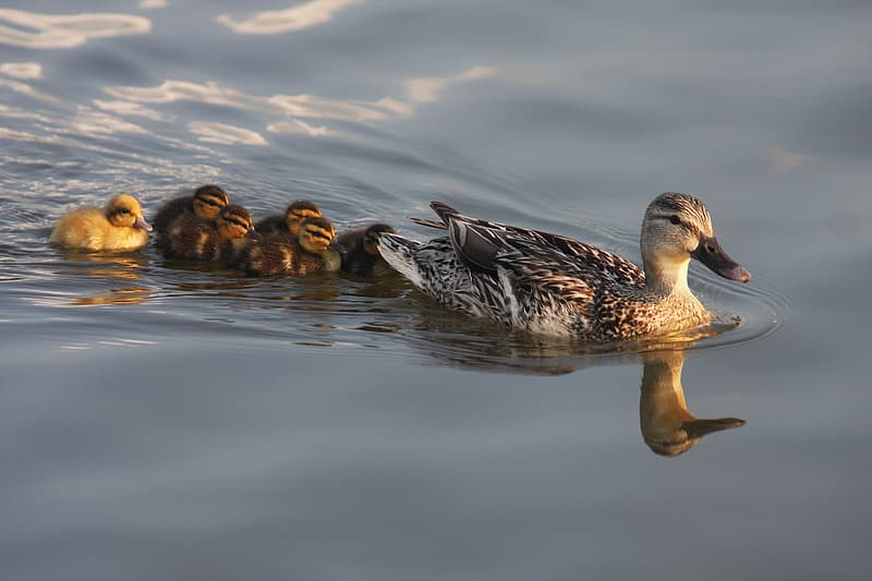 Animal photography of wild duck with ducklings