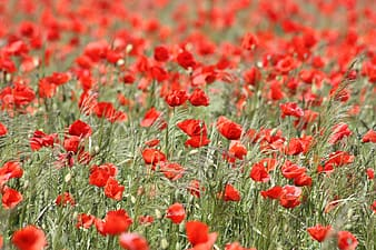Red poppy field during daytime