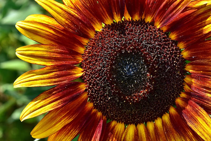 Yellow and red sunflower in bloom