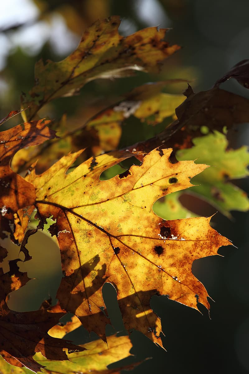 Yellow and brown maple leaf
