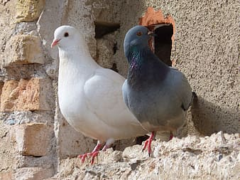 Two white and grey pigeons on grey concrete surface