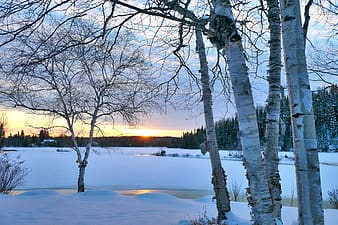 Snow covered trees during sunset