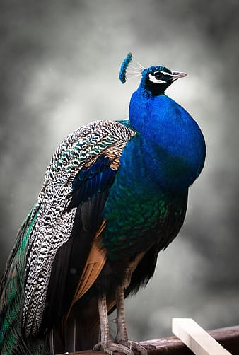 Tilt shift photo of a blue, green, and black peacock