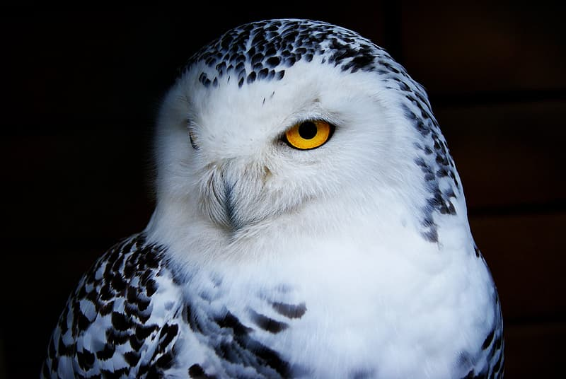 White and black owl with yellow eyes