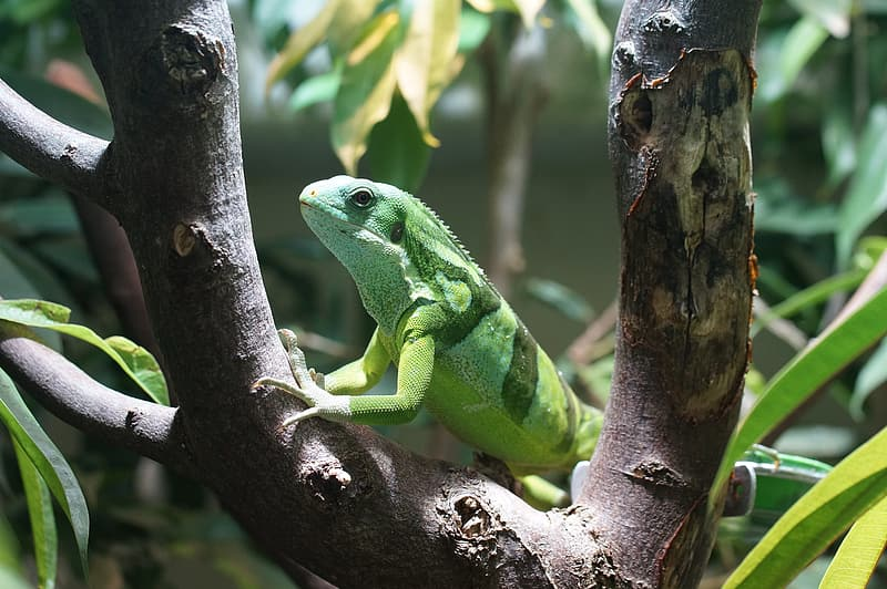 Green iguana on trunk