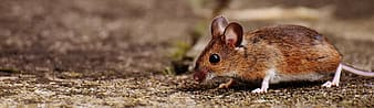 Shallow focus photography of brown mice