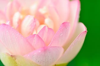 Macro photography of white and pink petaled bloomed rose with water dew