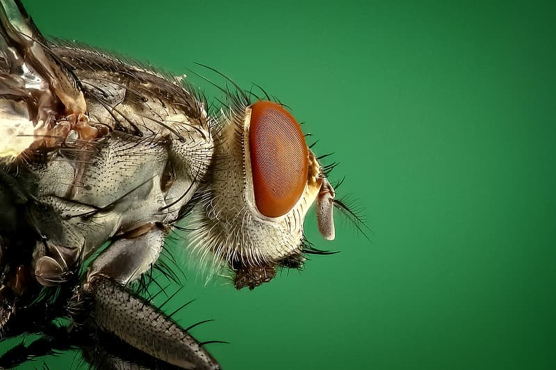 Micro photography of brown common house fly