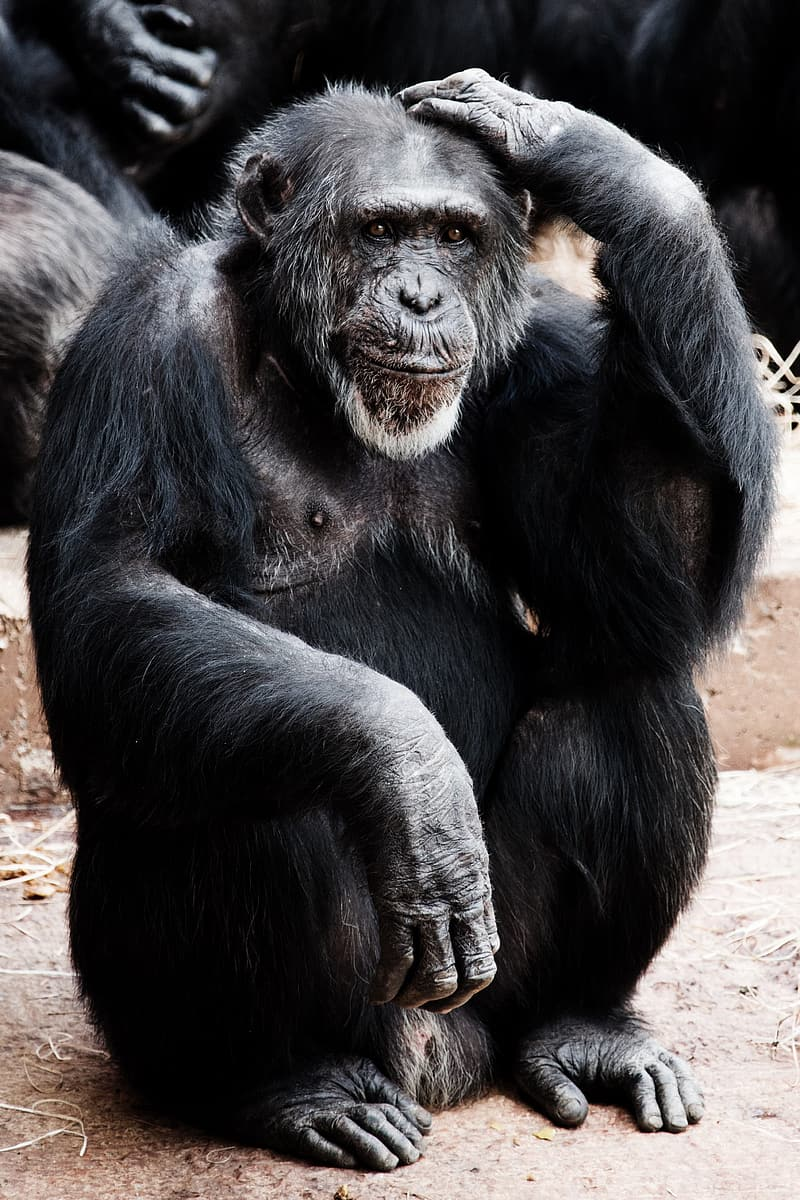Black gorilla sitting on ground during daytime