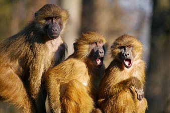 Three baboons focus photography