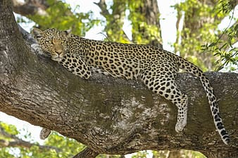 Leopard lying on tree trunk photo taken during daytime