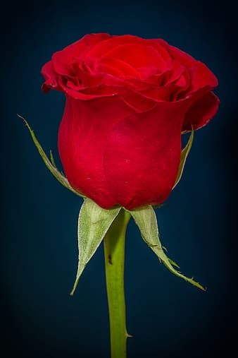 Red Rose with green stem