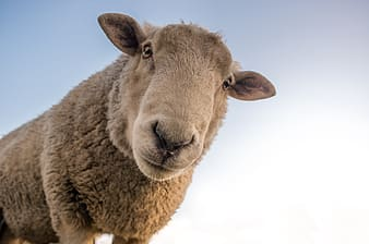 Gray sheep during daytime