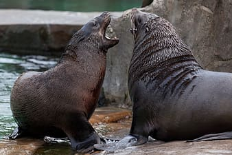 Two sealions fighting on body of water