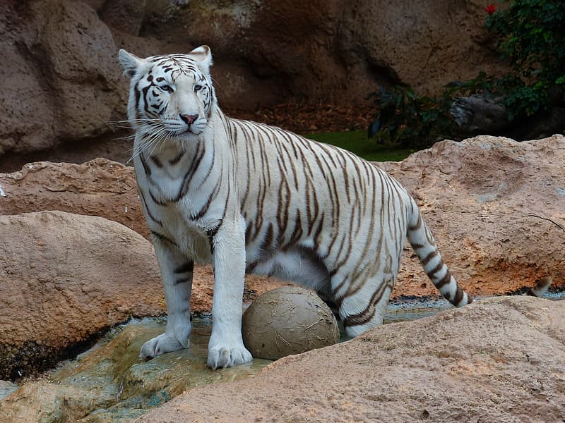 Closeup photo Albino Tiger