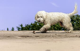 Long-coated white dog standing on brown surface
