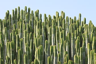 Green cacti under clear blue sky