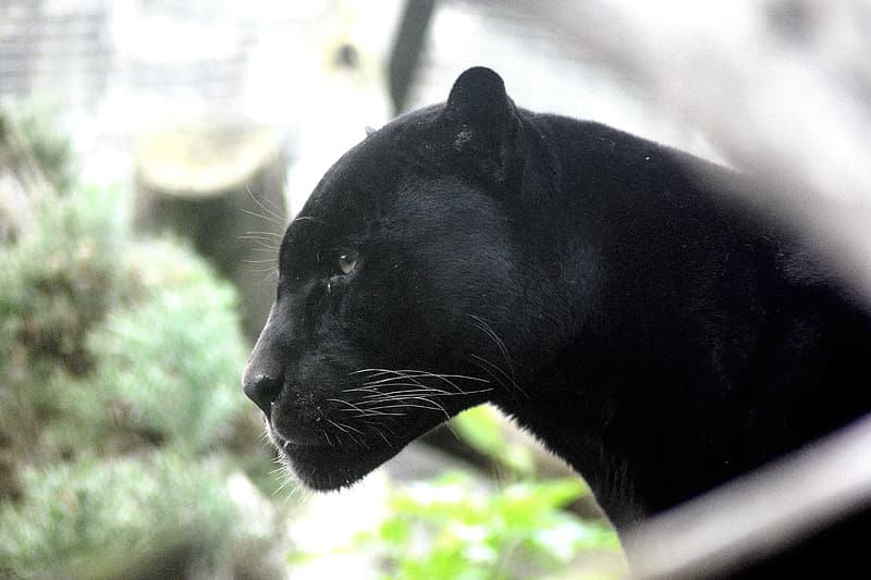 Selective focus photography of black panther
