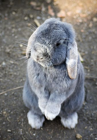 Gray and white rabbit stands on ground at daytime