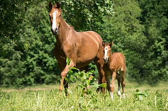 Two brown horses on green grass field
