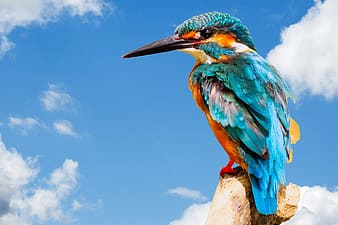 River kingfisher perched on brown wood post during daytime