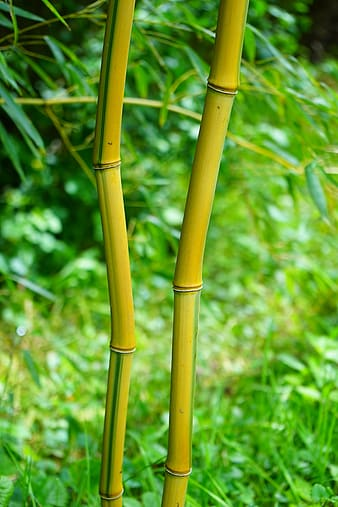 Brown and green bamboo stick