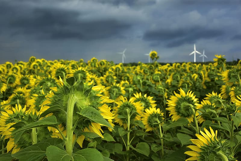 Yellow flower field under white clouds and blue sky during daytime
