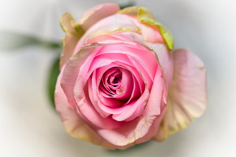 Pink and white rose in bloom