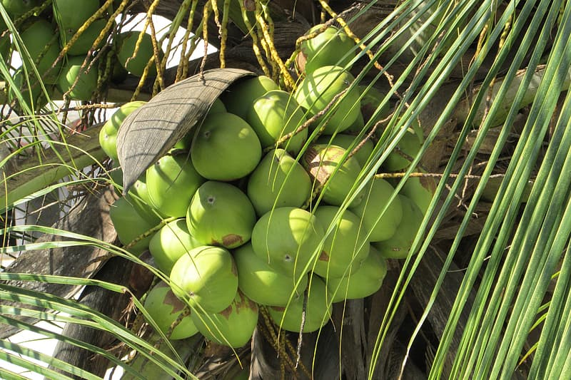 Bunch of coconut fruits